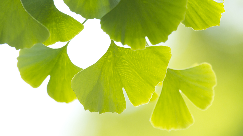 Der Ginkgo-Baum (Ginkgo biloba) ist eine uralte Heilpflanze.